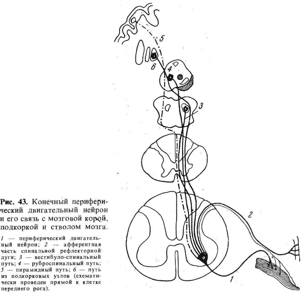 Нейрон двигательный