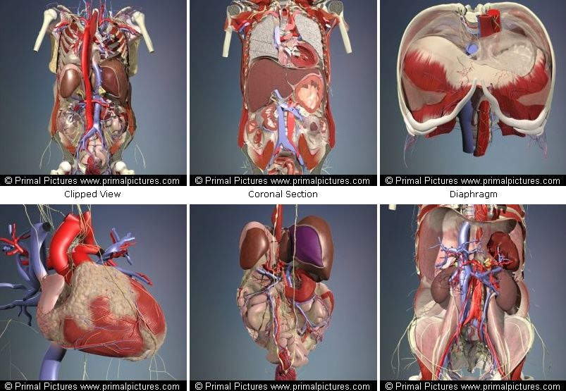 Атлас анатомии человека программа