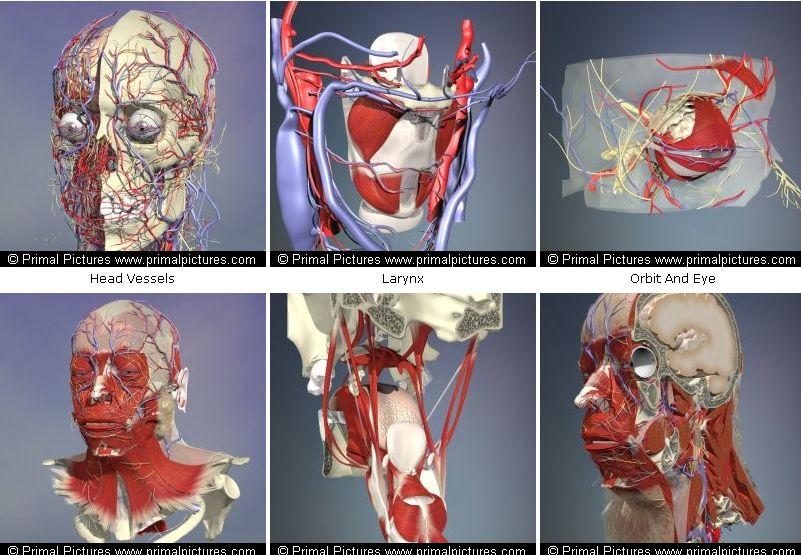 Скачать книгу анатомия головы и шеи