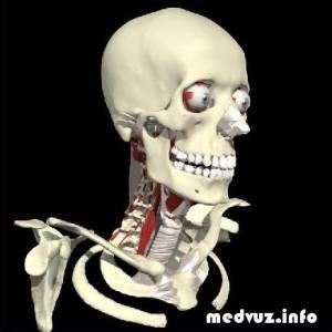 3d атлас анатомии скачать бесплатно, Arteksa виртуальный атлас анатомии - Скачать через BitTorrent